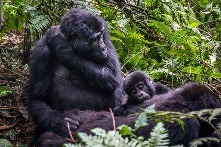 Gorilas de montaña en la selva. Uganda. Parque Nacional del Bosque Impenetrable de Bwindi. Una excelente ilustración Foto de archivo