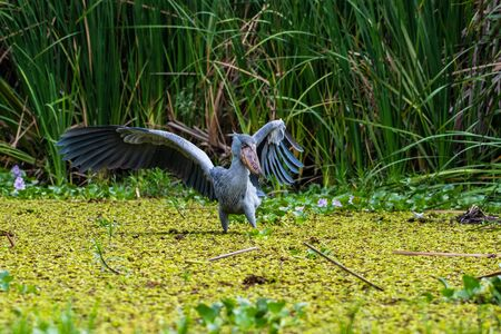 The Shoebill , Balaeniceps rex, also known as Whalehead, is a very large stork-like bird. It derives its name from its massive shoe-shaped bill.