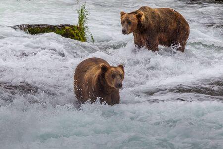 Grizzly bear in Alaska Katmai National Park hunts salmons (Ursus arctos horribilis) Stock Photo