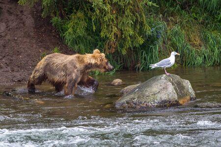 Grizzly bear in Alaska Katmai National Park hunts salmons (Ursus arctos horribilis) Фото со стока