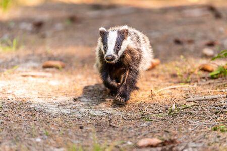 Badger nella foresta, animale nell'habitat naturale, Germania, Europa. Tasso selvatico, Meles meles, animale del bosco. Mammifero nell'ambiente, giornata di pioggia.