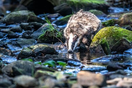 Badger in forest, animal in nature habitat, Germany, Europe. Wild Badger, Meles meles, animal in the wood. Mammal in environment, rainy day. Stock Photo