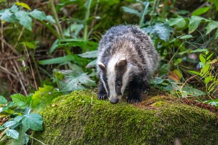 Badger in forest, animal in nature habitat, Germany, Europe. Wild Badger, Meles meles, animal in the wood. Mammal in environment, rainy day. 免版税图像