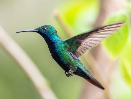 Blue hummingbird Violet Sabrewing flying next to beautiful red flower. Tinny bird fly in jungle. Wildlife in tropic Costa Rica. Two bird sucking nectar from bloom in the forest. Bird behaviour Standard-Bild