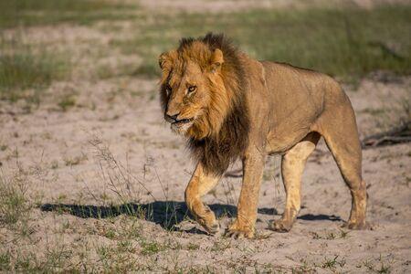 Machtige leeuw kijken naar de leeuwinnen die klaar zijn voor de jacht in Masai Mara, Kenia (Panthera leo) Stockfoto