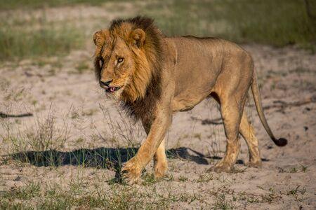 Machtige leeuw kijken naar de leeuwinnen die klaar zijn voor de jacht in Masai Mara, Kenia (Panthera leo)