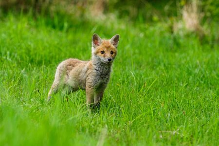 Ładny czerwony lis, vulpes vulpes w lesie jesienią. Piękne zwierzę w naturalnym środowisku. Scena dzikiej przyrody z dzikiej przyrody. Czerwony lis biegający wśród pomarańczowych jesiennych liści Zdjęcie Seryjne