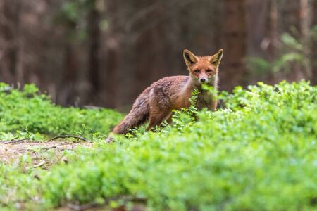 Jumping Red Fox, Vulpes vulpes, wildlife scene from Europe. Orange fur coat animal in the nature habitat. Stock Photo