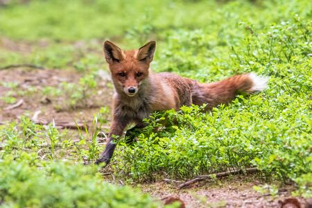 Jumping Red Fox, Vulpes vulpes, wildlife scene from Europe. Orange fur coat animal in the nature habitat.
