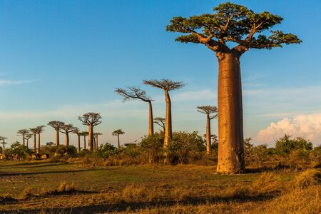 Beautiful Baobab trees at sunset at the avenue of the baobabs in Madagascar Imagens