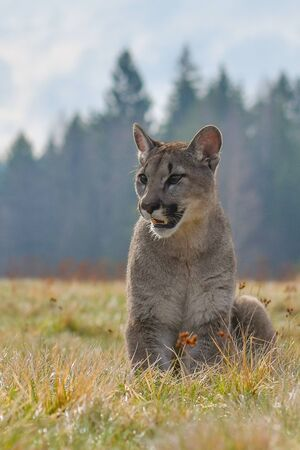 Cougar (Puma concolor), also commonly known as the mountain lion, puma, panther, or catamount. is the greatest of any large wild terrestrial mammal in the western hemisphere. Stock Photo