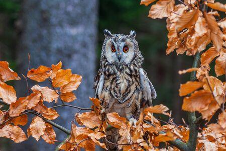 Eurasian eagle owl (bubo bubo) portrait, owls are often used as a symbol of wisdom, selective focus on the orange eyes, narrow depth of field Фото со стока