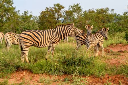 Plain Zebras (Equus Quagga) in the african savanna of the Etosha National Park in Namibia