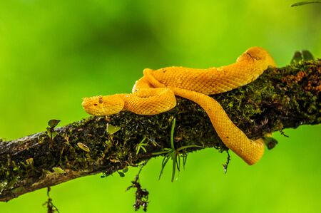 Eyelash Viper - Bothriechis schlegelii, beautiful colored venomous pit viper from Central America forests, Costa Rica 免版税图像