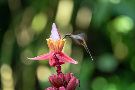 Blue hummingbird Violet Sabrewing flying next to beautiful red flower. Tinny bird fly in jungle. Wildlife in tropic Costa Rica. Two bird sucking nectar from bloom in the forest. Bird behaviour 写真素材