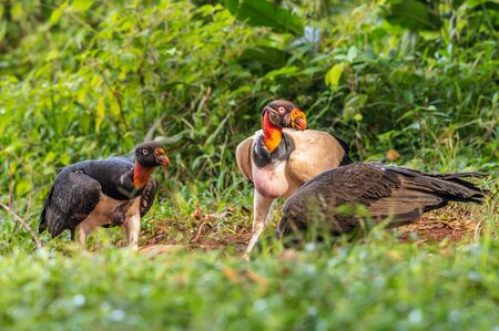 King vulture, Sarcoramphus papa, large bird found in Central and South America. Flying bird, forest in the background. Wildlife scene from tropic nature. Red head bird. Condor with open wing, Panama