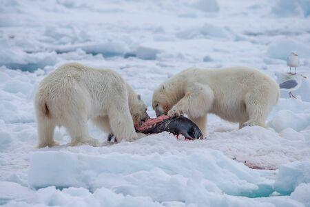 Polar Bear (Ursus maritimus) Spitsbergen North Ocean Standard-Bild