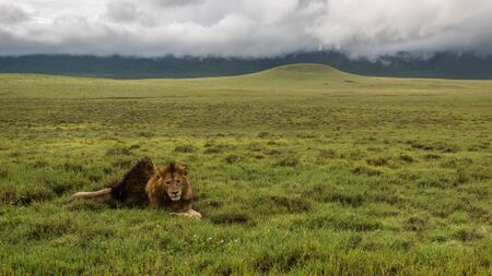 Panthera leo Big lion lying on savannah grass. Landscape with characteristic trees on the plain and hills in the background
