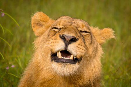 Beautiful Lion Caesar in the golden grass of Masai Mara, Kenya Standard-Bild