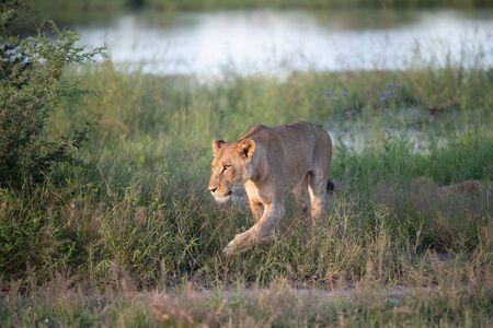 Beautiful Lion Caesar in the golden grass of Masai Mara, Kenya Panthera Leo.