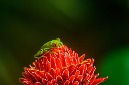 Red-eyed Tree Frog, Agalychnis callidryas, sitting on the green leave in tropical forest in Costa Rica.
