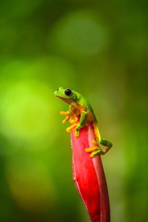 Red-eyed Tree Frog, Agalychnis callidryas, sitting on the green leave in tropical forest in Costa Rica. Standard-Bild