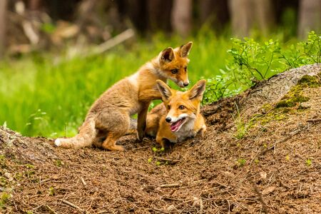 Red fox, vulpes vulpes, adult fox with young Stockfoto