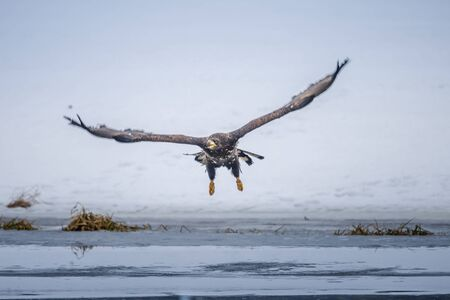 Adult White-tailed eagle in flight. Blue sky background. Scientific name: Haliaeetus albicilla, also known as the ern, erne, gray eagle, Eurasian sea eagle and white-tailed sea-eagle. Standard-Bild