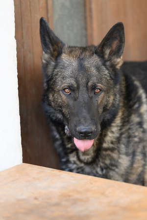 German Shepherd is a German dog breed, one of the most widely used in the world and also the most widely used service breed 스톡 콘텐츠