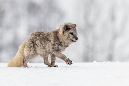 Beautiful arctic fox, standing on a hill in the snow, winter, Canada