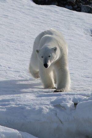 Polar Bear (Ursus maritimus) Spitsbergen North Ocean