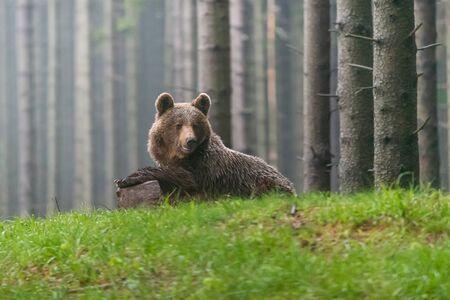 Wild Brown Bear (Ursus arctos) . Natural habitat. Slovakia