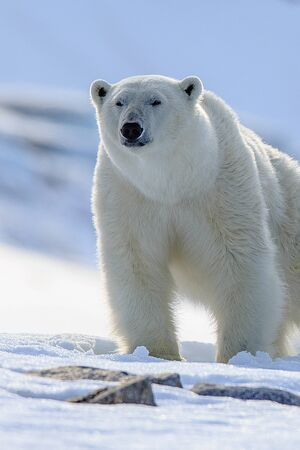 Polar Bear (Ursus maritimus) Spitsbergen North Ocean Foto de archivo