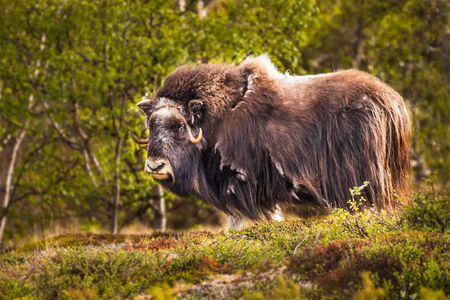 portrait of a musk ox (Ovibos moschatus) in nature Norway