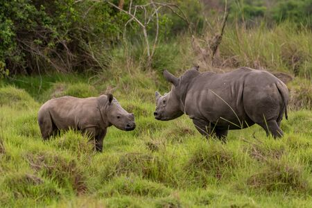 White rhinoceros (Ceratotherium simum) with calf in natural habitat, South Africa