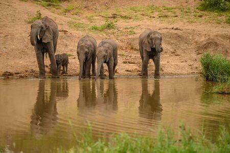 Wild african elephant close up, Botswana, Africa