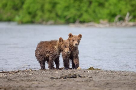 Ruling the landscape, brown bears of Kamchatka (Ursus arctos beringianus)