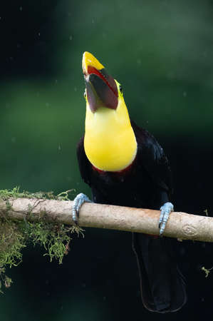 Keel-billed Toucan - Ramphastos sulfuratus, large colorful toucan from Costa Rica forest with very colored beak.