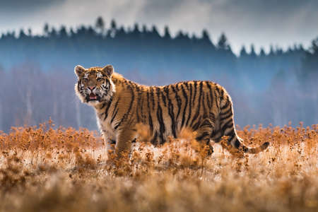 Siberian Tiger running. Beautiful, dynamic and powerful photo of this majestic animal. Set in environment typical for this amazing animal. Birches and meadows Standard-Bild