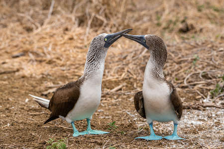 Blue-footed Booby (sula nebouxii) on Isla de la Plata, Ecuador Stock fotó