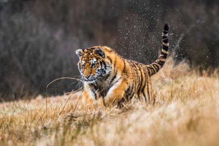 Siberian Tiger running in snow. Beautiful, dynamic and powerful photo of this majestic animal. Set in environment typical for this amazing animal. Birches and meadows