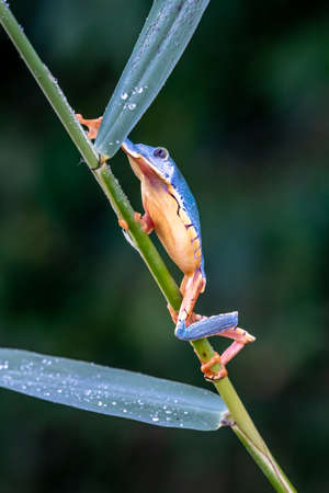 tree frog, Cruziohyla or Phyllomedusa calcarifer, climbing branch tropical Amazon rain forest.