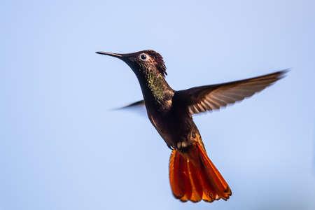 Hummingbird (Trochilidae) Flying gems ecuador costa rica panama Foto de archivo