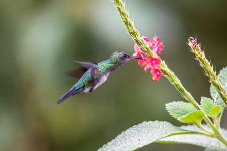 Hummingbird (Trochilidae) Flying gems ecuador costa rica panama
