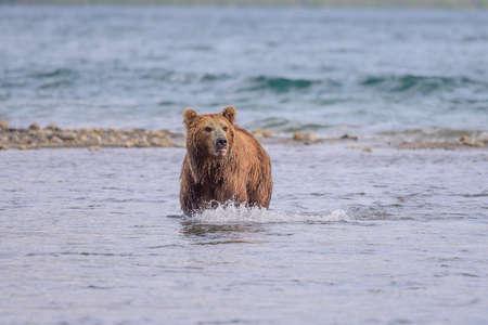Ruling the landscape, brown bears of Kamchatka (Ursus arctos beringianus) Stock fotó
