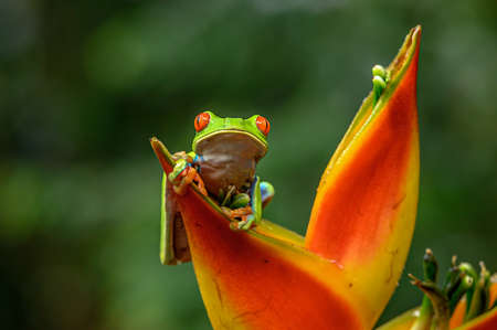 Red-eyed Tree Frog, Agalychnis callidryas, animal with big red eyes, in the nature habitat, Panama. Beautiful frog in the forest, exotic animal from central America on the red flower.