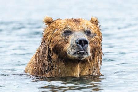 Ruling the landscape, brown bears of Kamchatka (Ursus arctos beringianus)