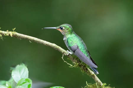 Amazilia decora, Charming Hummingbird, bird feeding sweet nectar from flower pink bloom. Hummingbird behavior in tropic forest, nature habitat in Corcovado NP, Costa Rica. Two bird in fly, wildlife.