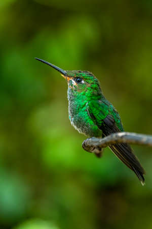 Purple-bibbed Whitetip - Urosticte benjamini, beautiful green hummingbird from western Andean slopes, Mindo, Ecuador. Banco de Imagens