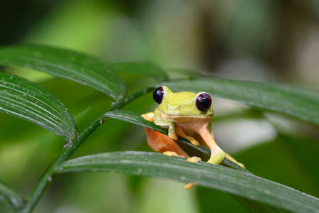 Gliding tree frog (Agalychnis spurrelli) is a species of frog in the Hylidae family. It is found in Colombia, Costa Rica, Ecuador, and Panama.